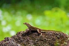 Lizard-in-Solice